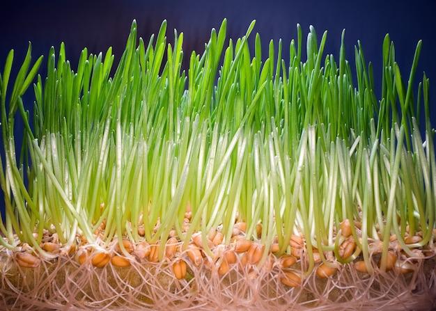 Essbares grünes gras sprießt in einem topf.