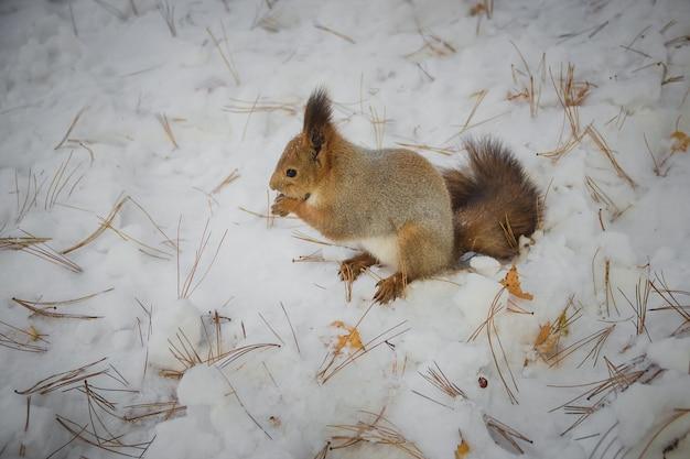Essen des eichhörnchens, das auf schnee sitzt