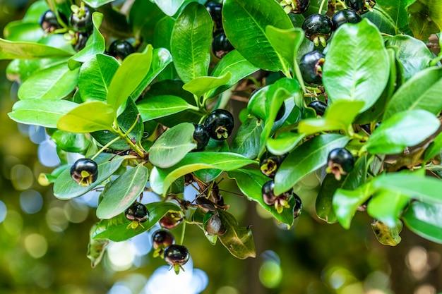 Eugenia brasiliensis mit den gebräuchlichen namen brasilienkirsche und grumichama oder die brasilianische kirsche ist ein mittelgroßer baum