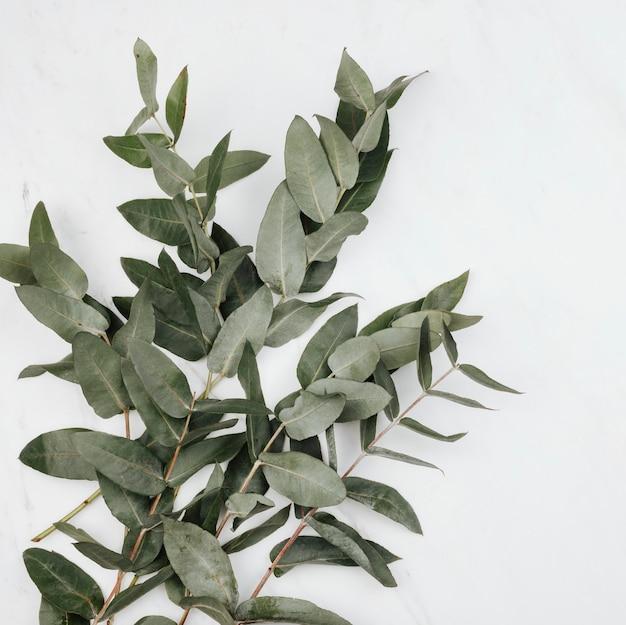 Eukalyptus auf weißem marmorhintergrund