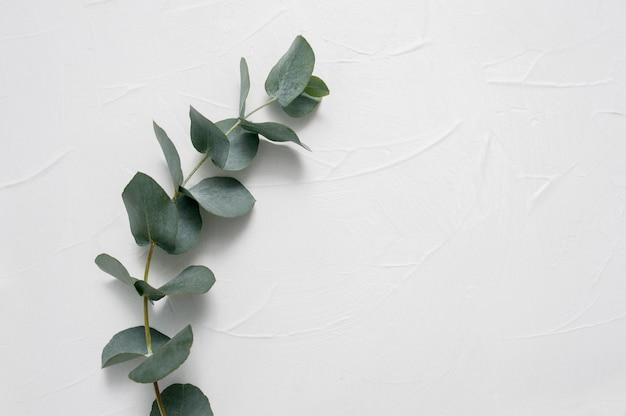 Eukalyptus lässt feld auf weiß