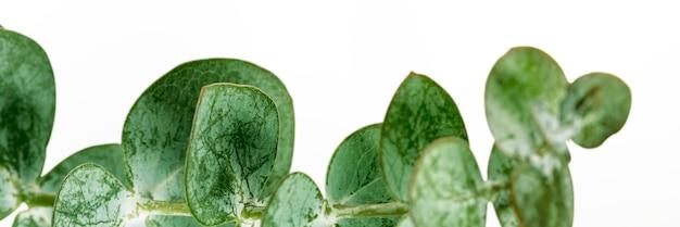Eukalyptus rund hinterlässt soziales banner