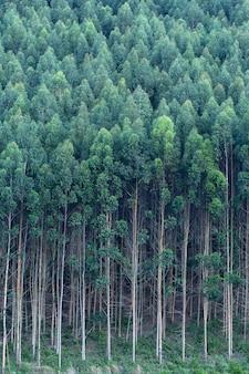 Eukalyptusbäume auf einer papierfarm