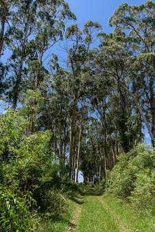 Eukalyptusbäume in der natur