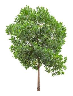 Eukalyptusbaum isoliert auf weißem hintergrund, beschneidungspfad