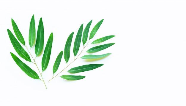 Eukalyptusblätter auf weißem hintergrund.