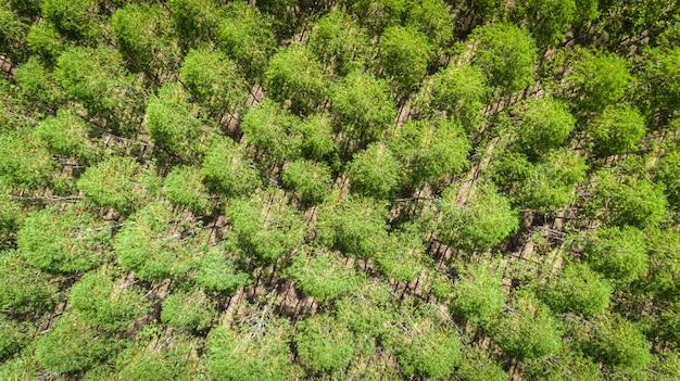 Eukalyptusplantage in brasilien - zellulosepapierlandwirtschaft - birdseye-brummenansicht. draufsicht