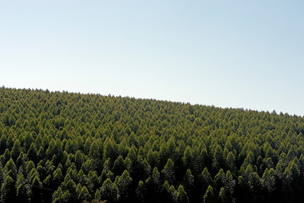 Eukalyptusplantage, mit leerraum für text