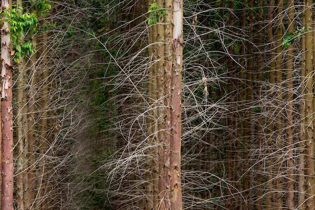 Eukalyptusstämme in symmetrischer zusammensetzung