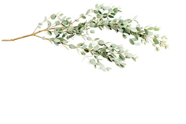 Eukalyptuszweig auf weißem hintergrund. ansicht von oben.