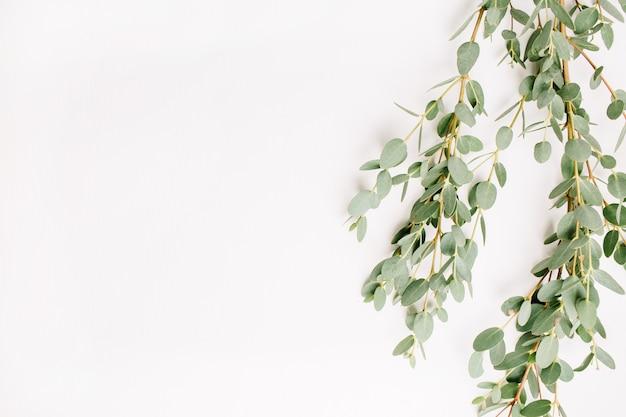 Eukalyptuszweig isoliert auf weißem hintergrund. ansicht von oben.
