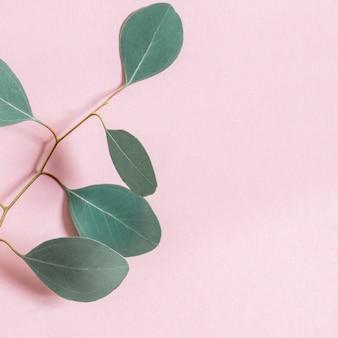 Eukalyptuszweige auf einem rosa hintergrund