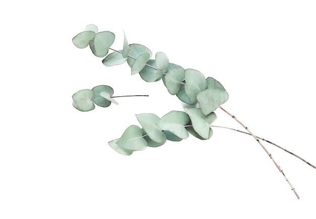Eukalyptuszweige im aquarellstil auf weiß