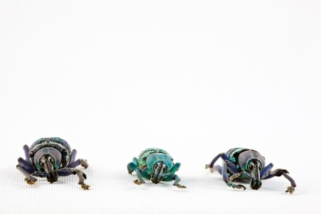 Eupholus käfer trio
