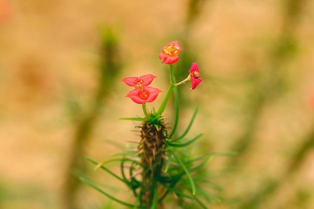 Euphorbia gottlebei in der natur