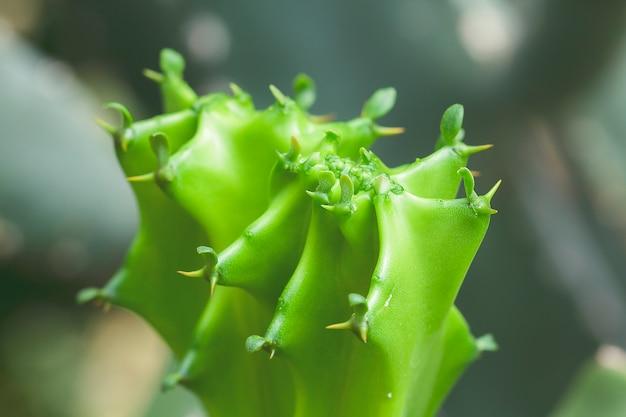 Euphorbia lacei craib ist eine andere zierpflanzenart.