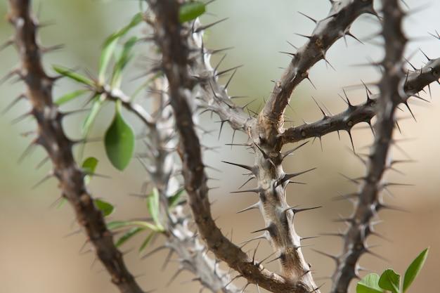 Euphorbiengummi milii oder dornige christusgrünpflanze mit roten blumen