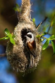 Eurasische pendelmeise, die auf hängendem nest im bau sitzt