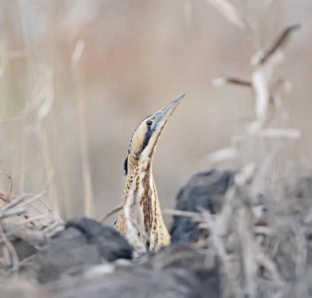 Eurasische rohrdommel oder große rohrdommel (botaurus stellaris) späht aus dem kanal und sieht den fotografen an