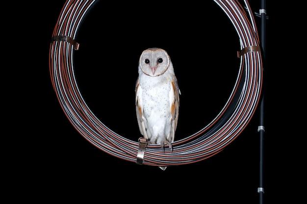 Eurasische schleiereule tyto alba vögel auf dem kabel