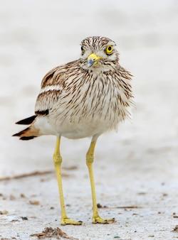 Eurasische steinbrachvogel burhinus oedicnemus nahaufnahme. der vogel steht auf dem boden