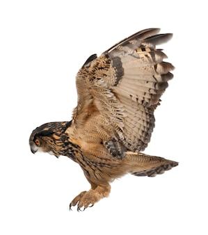 Eurasische uhu, bubo bubo, 15 jahre alt, fliegt gegen weiße oberfläche