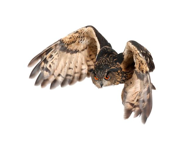 Eurasische uhu bubo bubo fliegen isoliert
