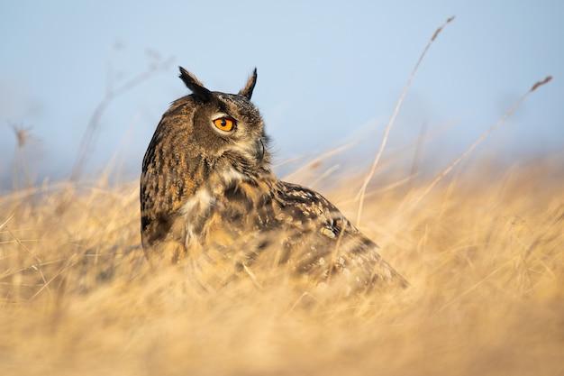 Eurasische uhu, bubo bubo, sitzt auf dem boden im trockenen gras mit blauem himmel und schaut weg. großer wilder greifvogel in der natur im sommer.
