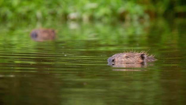 Eurasischer biber, der in einer sommernatur im wasser schwimmt
