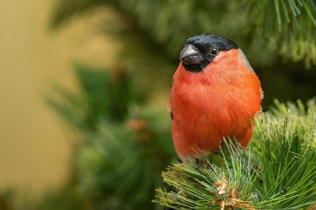Eurasischer gimpel, männlich, pyrrhula pyrrhula, sitzt auf einem ast eines weihnachtsbaumes