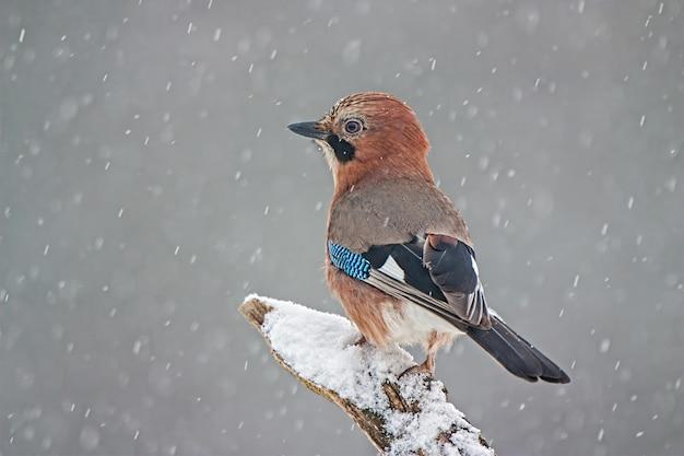 Eurasischer jay, der auf einem zweig während eines schneesturms sitzt