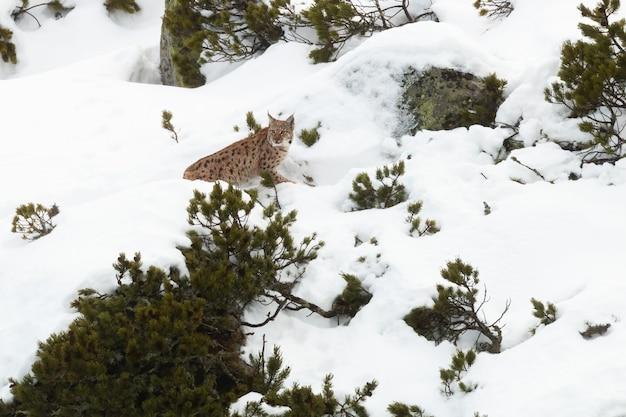 Eurasischer luchs, der beute in den schneebedeckten bergen im winter verfolgt