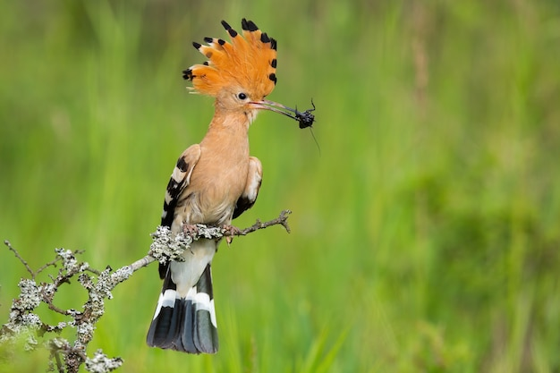 Eurasischer wiedehopf, der käfer im schnabel in der frühlingsnatur hält