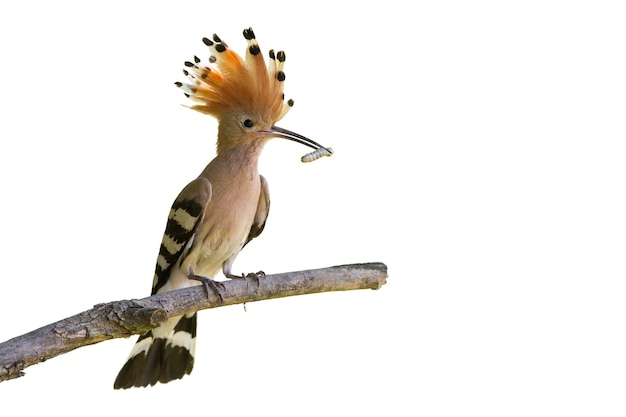 Eurasischer wiedehopf, upupa epops, sitzt auf einem ast, der auf rohling ausgeschnitten ist. vogel mit offenem kamm von federn, die wurm im schnabel lokalisiert auf weißem hintergrund halten.
