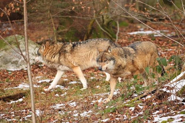 Eurasischer wolf im weißen winterlebensraum schöner winterwald