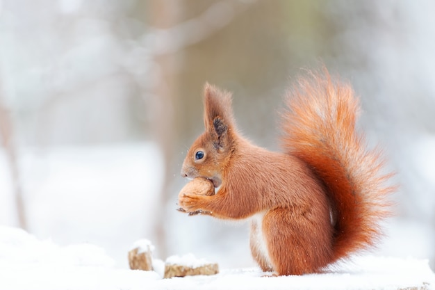 Eurasisches eichhörnchen (sciurus vulgaris) im schnee. nettes rotes eichhörnchen, das in einer winterszene schaut