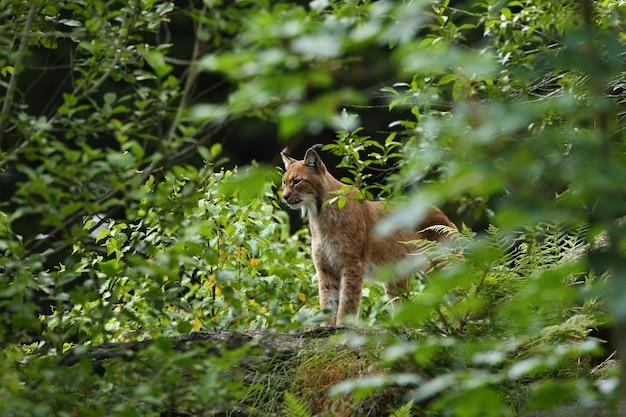 Euroasiatischer luchs von angesicht zu angesicht im bayerischen nationalpark in ostdeutschland