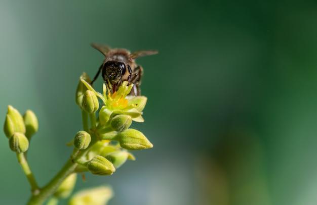 Europäische honigbiene (apis mellifera), bestäubende avocadoblume (persea americana)