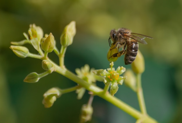 Europäische honigbiene (apis mellifera), bestäubende avocadoblume