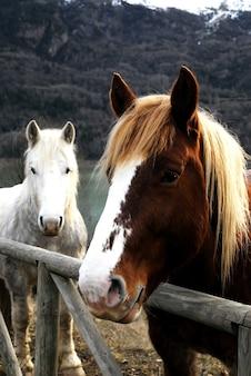 Europäische pferde hinter einem holzzaun