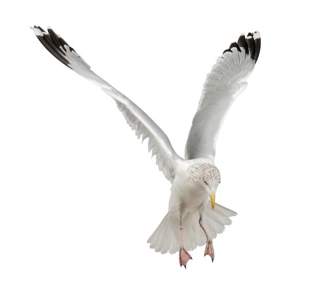 Europäische silbermöwe, larus argentatus, 4 jahre alt, fliegt gegen weiße oberfläche