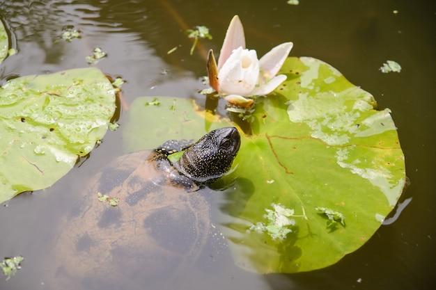 Europäische sumpfschildkröte nahe weißer lotus flower im see