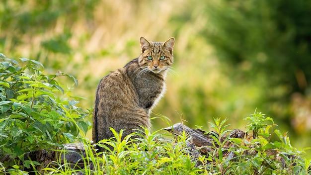 Europäische wildkatze, die auf einem horizont im frühlingswald sitzt