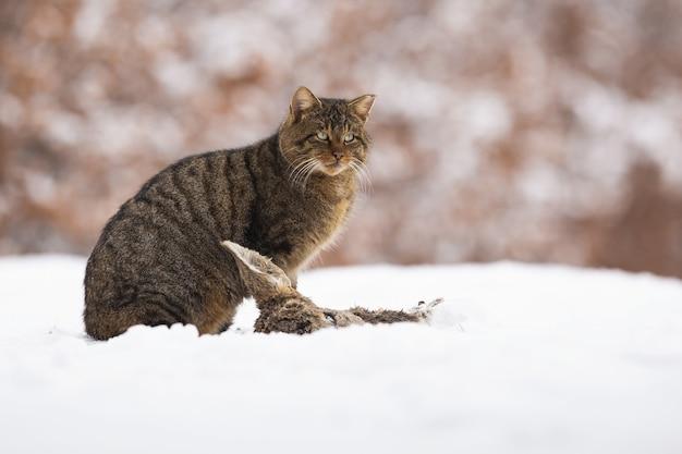 Europäische wildkatze, die auf wiese in der winternatur sitzt