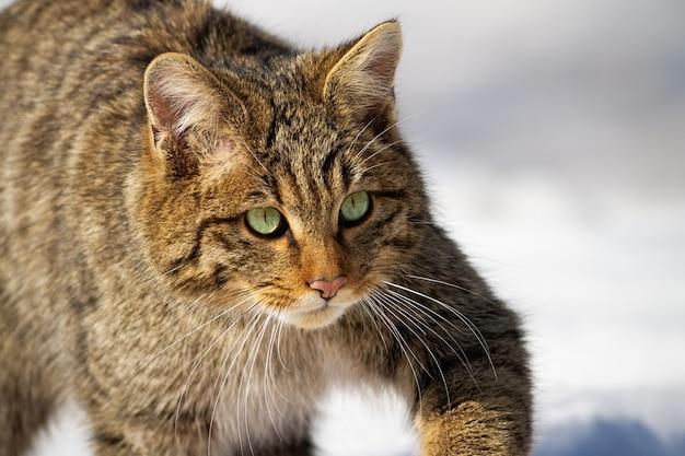 Europäische wildkatze, felis silvestris, die sich im winter auf die jagd schleicht