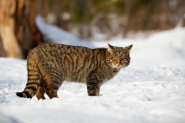 Europäische wildkatze und sein durchdringender blick in den verschneiten wald