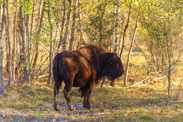 Europäischer bison auf dem waldsand, junger bison im wald
