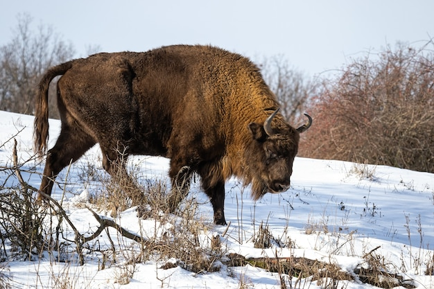 Europäischer bison-männchen, der im winter auf verschneiter waldwiese weidet