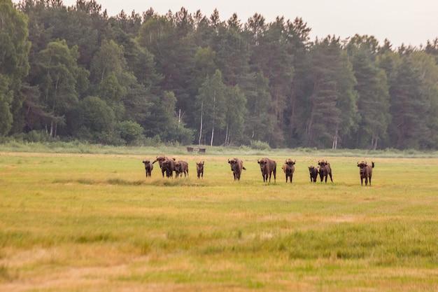 Europäischer bison weißrussland