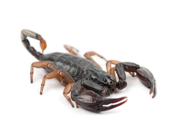 Europäischer gelbschwanzskorpion, euscorpius flavicaudis, gegen weiße oberfläche